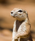 Ground Squirrel. Portrait of a Ground squirrel looking for food in the sand stock photography