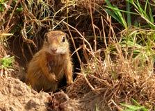 Ground squirrel. European ground squirrel(Spermophilus citellus)is in the IUCN Red List stock photo