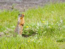 Ground squirrel. Looks alert on field outside his hole stock image