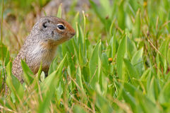 Ground Squirrel. In the blooming meadow Stock Photography