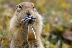Ground Squirrel. Close up of ground squirrel while eating mushrooms royalty free stock images