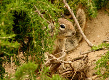Ground Squirrel. Peeking out from behind some bushes Stock Images