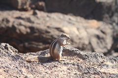 Ground Squirrel. From Africa now breeding in Fuerteventura Stock Images
