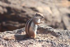 Ground Squirrel. From Africa now breeding in Fuerteventura Stock Image