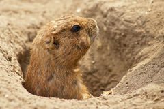 The ground squirrel. Portrait of a ground squirrel feeding royalty free stock photos
