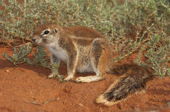 Ground squirrel. Widespread in lower rainfall regions of South Africa and Namibia; terrestrial and lives in burrows; white stripe down each side; long bushy tail Royalty Free Stock Image