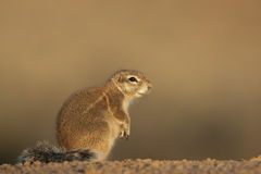 Ground squirrel. Widespread in lower rainfall regions of South Africa and Namibia; terrestrial and lives in burrows; white stripe down each side; long bushy tail Royalty Free Stock Photography