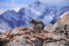 Ground squirrel. Stock Photos