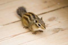 Ground Squirrel Royalty Free Stock Photo