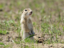 Ground squirrel. The prairie ground squirrel standing vigilant gaze of the hole with the surrounding environment royalty free stock photos