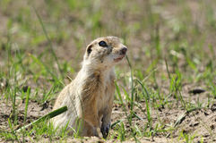 Ground squirrel. The prairie ground squirrel standing vigilant gaze of the hole with the surrounding environment stock images