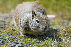 Ground Squirrel. Tame ground squirrels in California stock image