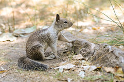 Ground squirrel. Is watching Stock Photos