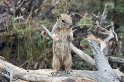 Ground squirrel. A richardson's Ground squirrel standing on a log at the Grand Canyon Stock Photos