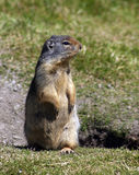 Ground squirrel. On alert royalty free stock image