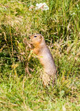 Ground squirrel. Is eating grass Royalty Free Stock Photo