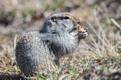 Free Ground Squirrel Royalty Free Stock Photos - 48270018
