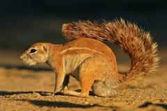 Ground squirrel. A male ground squirrel  (Xerus inaurus), Kalahari, South Africa Royalty Free Stock Photo