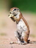 Ground-squirrel Stock Image