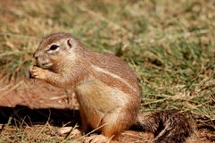 Ground squirrel. Side portrait of ground squirrel on grass Royalty Free Stock Image