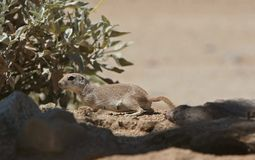 Ground squirrel. Round-tailed ground squirrel stock photo