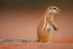 Ground squirrel. Xerus inaurus; sitting upright on red desert sand Stock Image