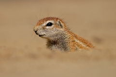 Ground squirrel. Desert dwelling ground squirrel  (Xerus inaurus), Kalahari, South Africa Stock Photo
