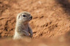 Ground squirrel against a nice background Stock Photography