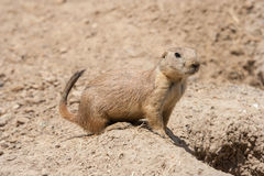 Ground squirrel also known as Spermophilus is guarding its hole by its entrance stock photo