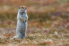Ground Squirrel - Arctic. Adult Arctic Ground Squirrel Standing Erect On Tundra Royalty Free Stock Image