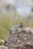 Ground squirrel in Arizona Stock Images