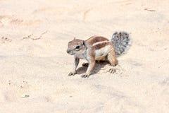 Ground Squirrel Atlantoxerus Getulus Stock Photography