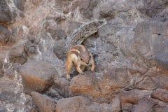 Ground Squirrel Atlantoxerus Getulus Stock Images