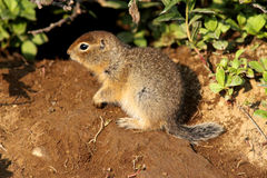 Ground Squirrel Baby Royalty Free Stock Photo