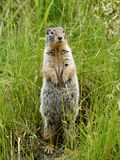 Ground Squirrel. Banff National Park, Canada stock image