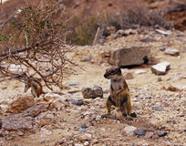 Ground squirrel. Barbary ground squirrel occurs commonly on Fuerteventura island, Spain Stock Photography