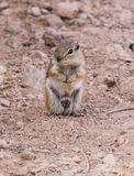 Ground Squirrel begging for food Stock Photo