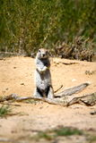Ground Squirrel in Botswana Stock Images