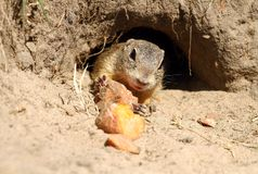 Ground squirrel in burrow. Adorable little ground squirrel in wild nature royalty free stock photography