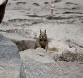 Ground squirrel in California. Ground squirrel among rocks at Morro Bay on the coast of California, United States stock photos