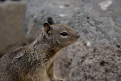 Ground squirrel in California. Ground squirrel among rocks at Morro Bay on the coast of California, United States Royalty Free Stock Photo