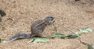 Ground squirrel chewing a sprig of a tree Stock Photography