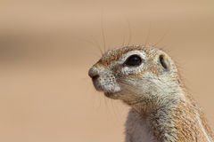 Ground squirrel close up Stock Images