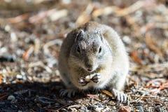Ground Squirrel Stock Photos