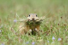 Ground squirrel collector Royalty Free Stock Image