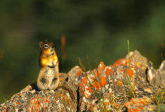 Ground Squirrel on Coloraful Rock Stock Photos