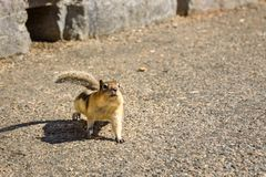A ground squirrel comes running to get some food from tourists. Golden-mantled Ground Squirrel Stock Photography