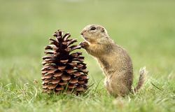 Ground squirrel and cone Stock Photography