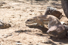 Ground squirrel creeping over sand. Royalty Free Stock Images