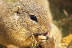 Ground Squirrel Royalty Free Stock Images